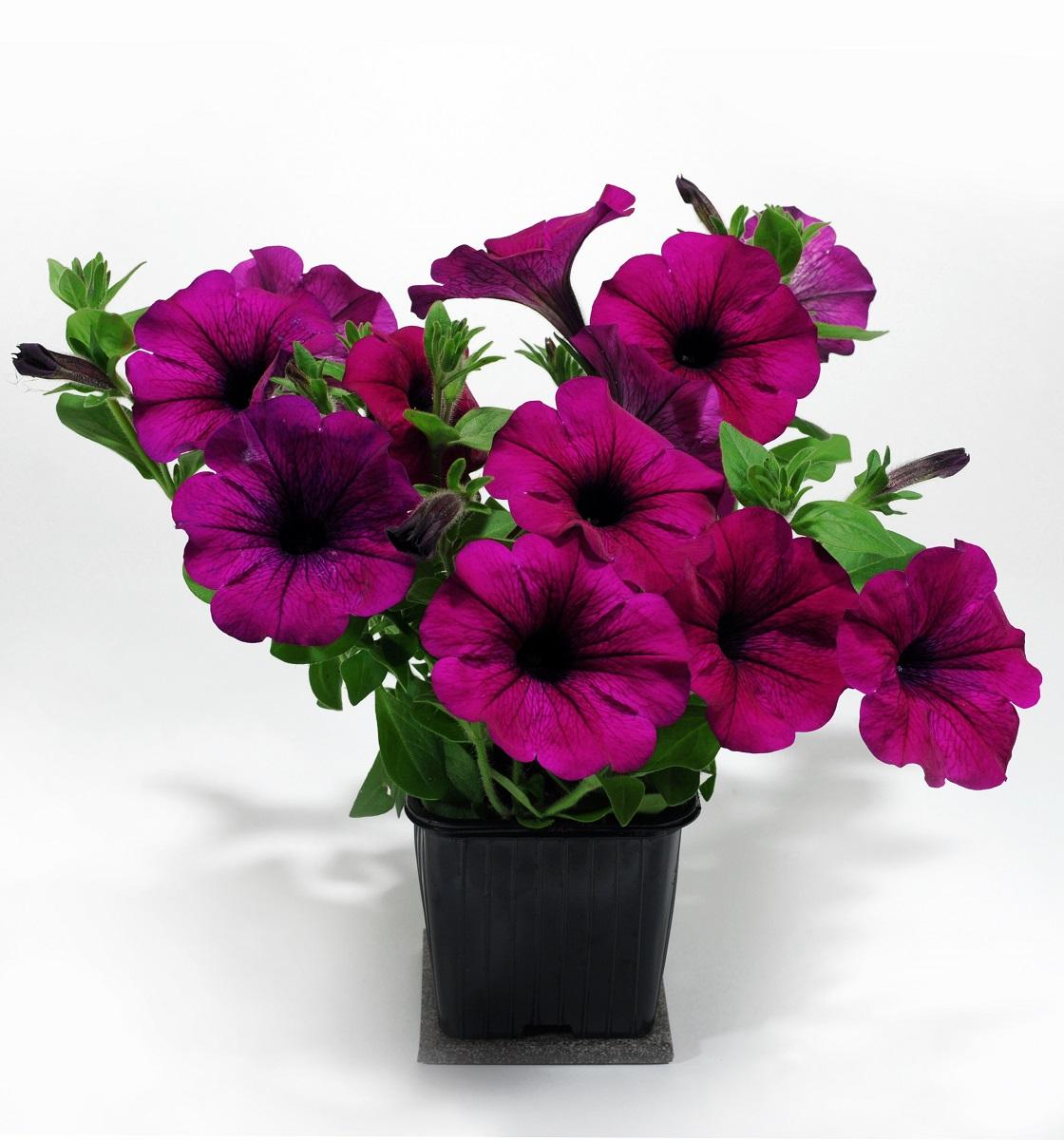 petunia-1