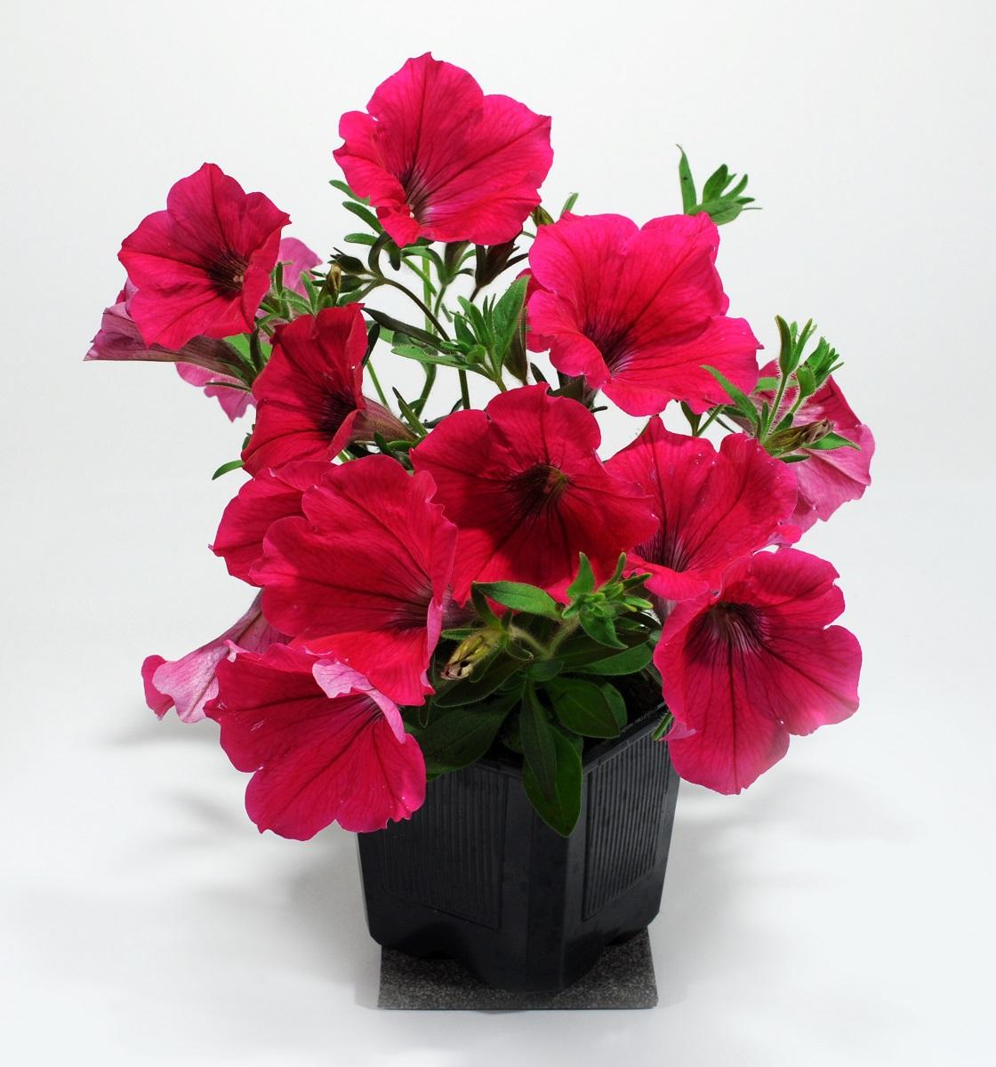 petunia-3