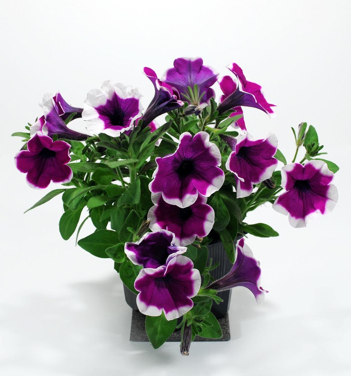 petunia-6
