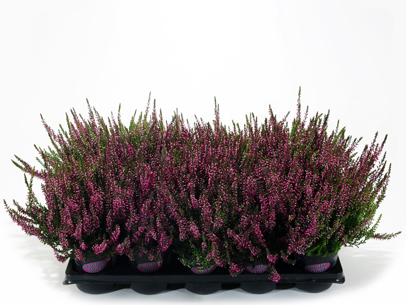 wrzos lili-ara