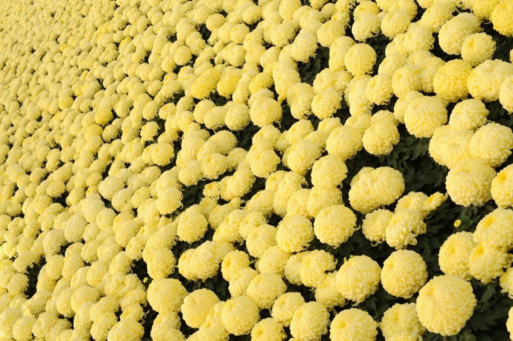 chryzantema-wielkokwiatowa-14