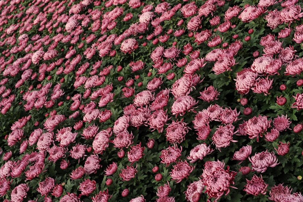 chryzantema-wielkokwiatowa-4