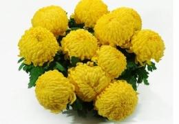 chryzantema-wielkokwiatowa-baner